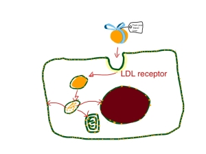 Gift-wrapped LDL particles are taken up by cells to provide cholesterol for cell membranes