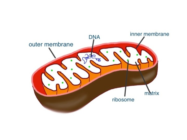 mitochondrion - it has all the stuff inside that a bacterium has, but without a tough cell wall
