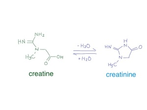 creatine and creatinine are small molecules which are in chemical equilibrium