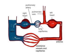 this diagram shows the two sides of the heart separated - the pressure in the pulmonary vein is higher than the central venous pressure on the right side