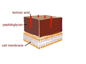 cartoon of gram positive bacterial cell wall - techoic acid is thought to inhibit the action of lysozyme and protect the peptidoglycan from being broken down - techoic acid contains phosphate groups which may be removed by alkaline phosphatase