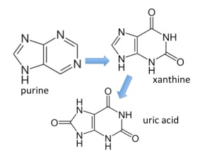 the purines adenine and guanine are converted into xanthine and then uric acid which is excreted in urine